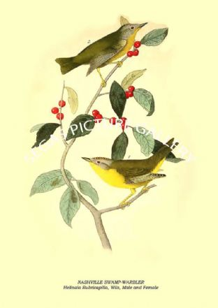NASHVILLE SWAMP-WARBLER - Helinaia Rubricapilla, Wils, Male and Female